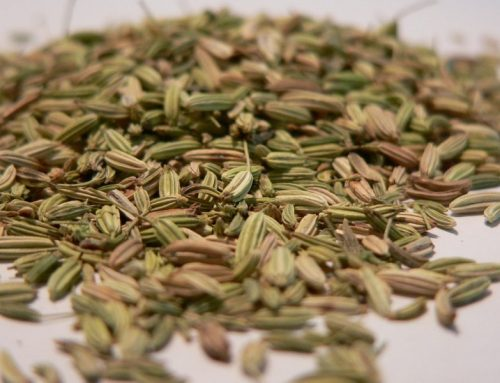Arzneipflanze des Jahres: Fenchel