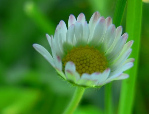 Kinderpflanze und Mutterliebe: das Gänseblümchen