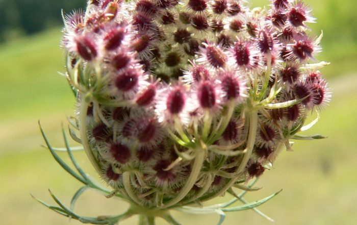 Wilde Möhre Daucus carota Samen