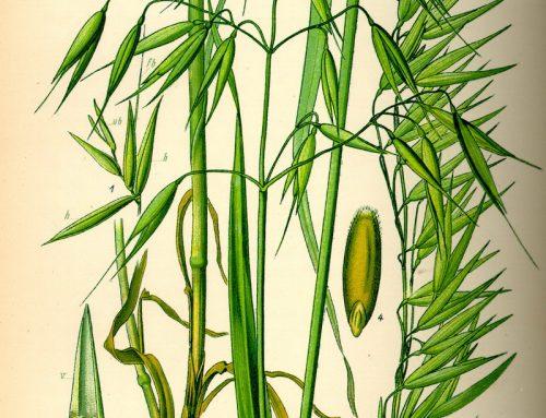 Hafer :: Arzneipflanze des Jahres 2017