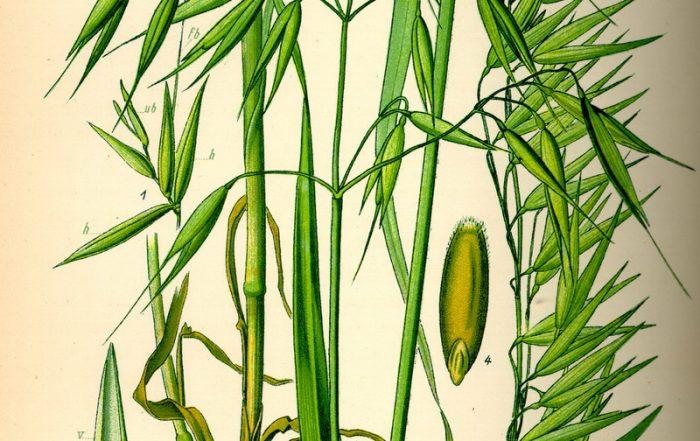 Hafer Zeichnung Prof. Dr. Otto Wilhelm Thomé Flora von Deutschland, Österreich und der Schweiz 1885
